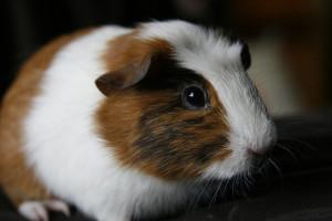 ginea pig