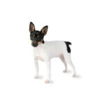 Petland Dunwoody Puppies For Sale Toy Fox Terrier