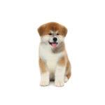 Petland Dunwoody Puppies For Sale Akita