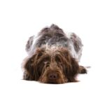 Petland Dunwoody Puppies For Sale German Wirehaired Pointer