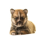 Petland Dunwoody Puppies For Sale Pomsky