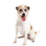 Petland Dunwoody Puppies For Sale Jack Russell Terrier